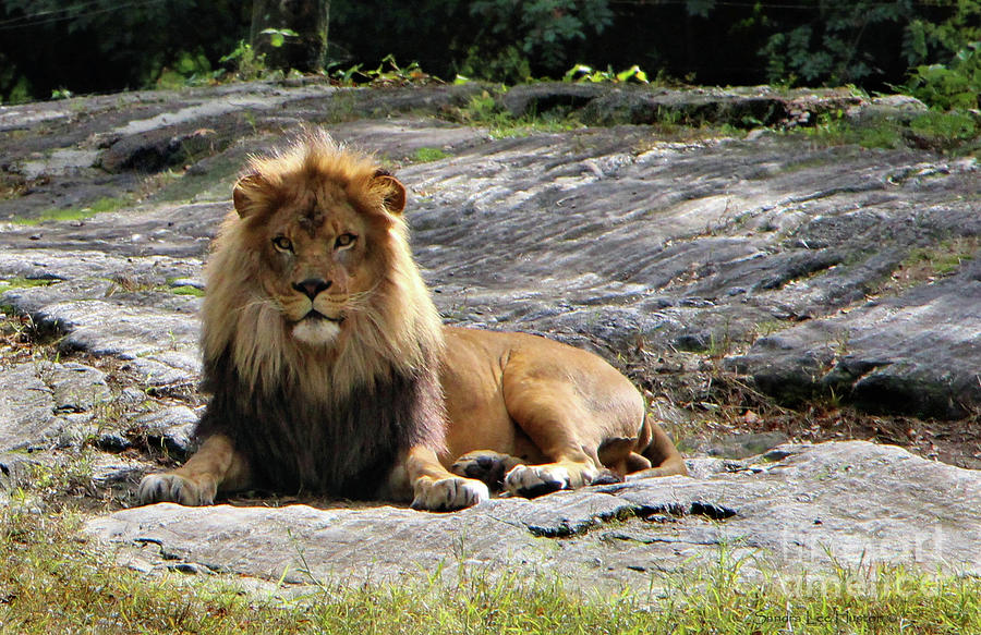 Resting Lion In The Sunlight by Sandra Huston