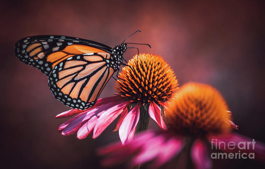 Resting Monarch. Butterfly Photograph by Stephen Geisel