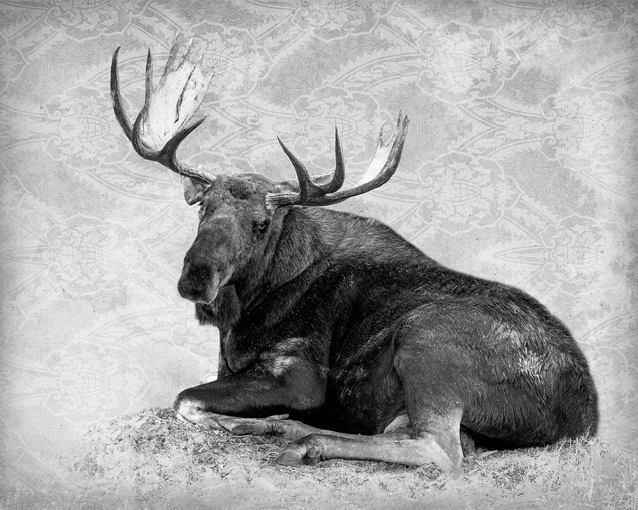 Resting Moose face by Mary Hone