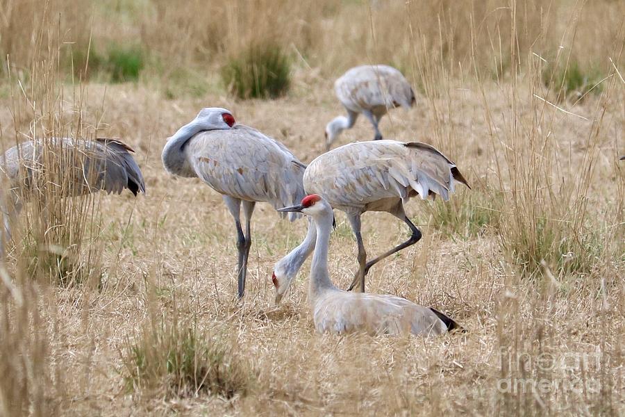 Resting Sandhill Cranes in Field by Carol Groenen