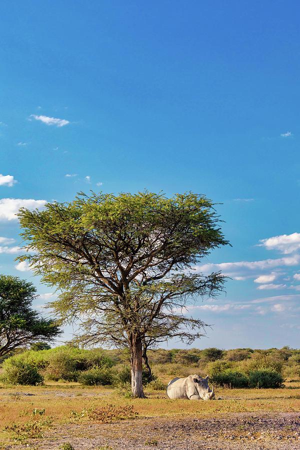 Resting White Rhinoceros Under Acacia Tree In Khama Rhino