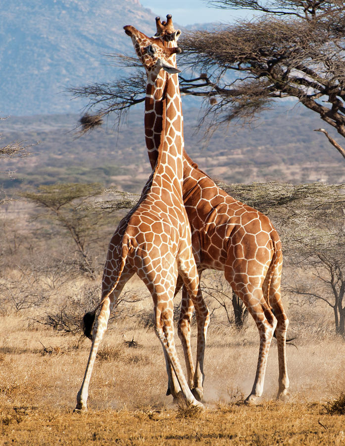 Reticulated Giraffe Photograph by Janet Miles