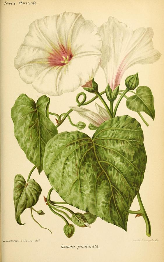Flower Painting - Revue Horticole  1915  35 by Revue horticole