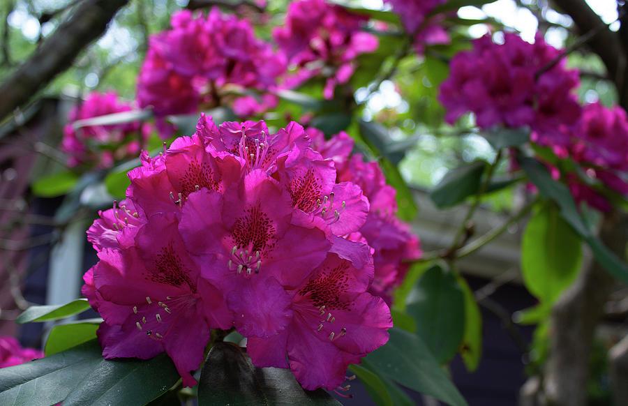Rhododendron Blossom by Geoff Jewett