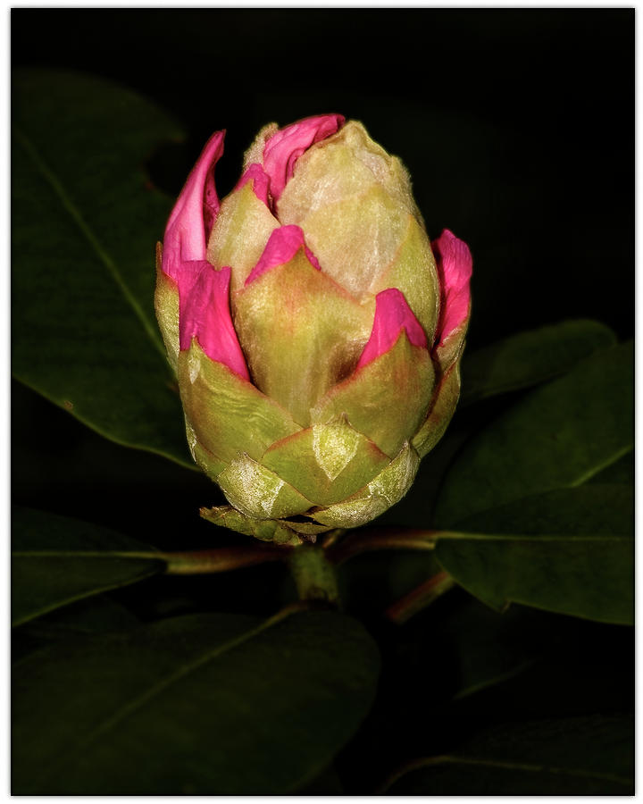 Rhododendron Bud 2 Photograph by Harold Silverman - Flowers