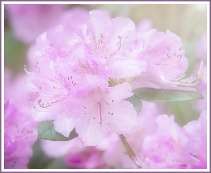 Rhododendron Flowers by A Gurmankin