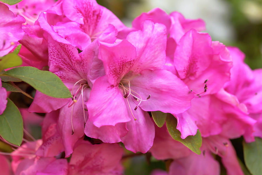 Rhododendron Masterpiece by Dawn Cavalieri