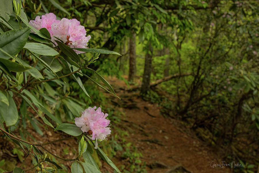Rhododendron Trail by Dana Foreman