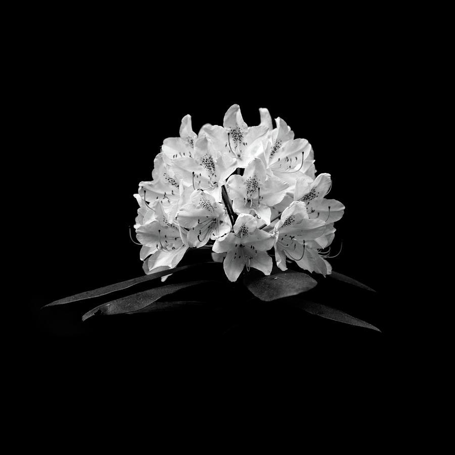 Rhododendron by Trevor Slauenwhite