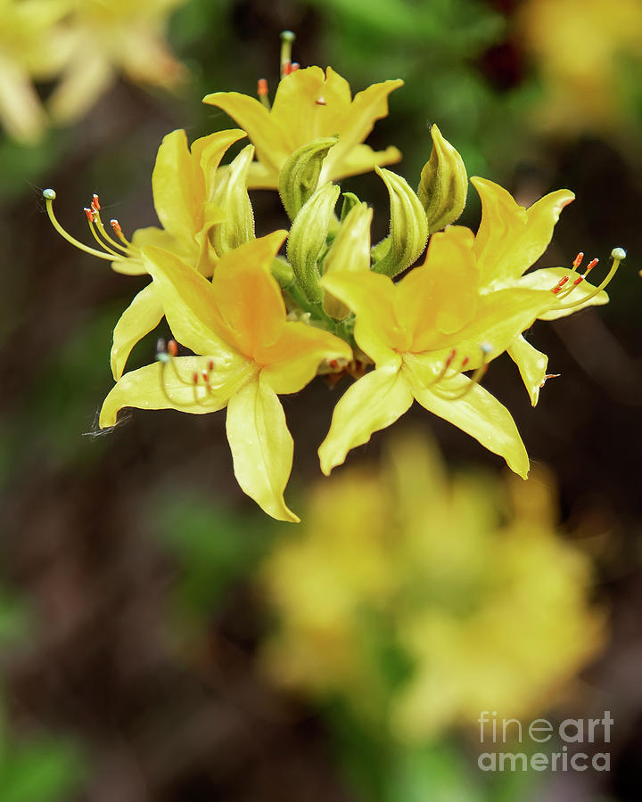 Rhododendron Yellow Flower Blooms Photograph By Antony Mcaulay