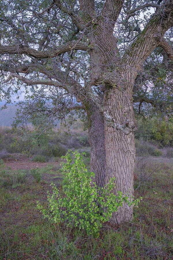 Ribes under Oak by Alexander Kunz