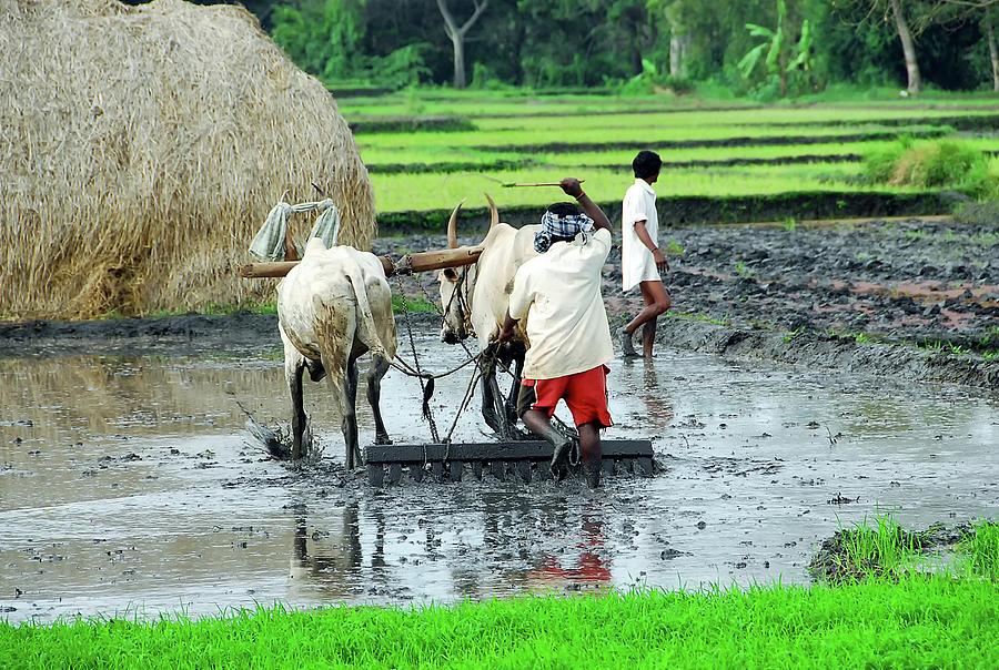 Rice Field Work Photograph by Paul Biris