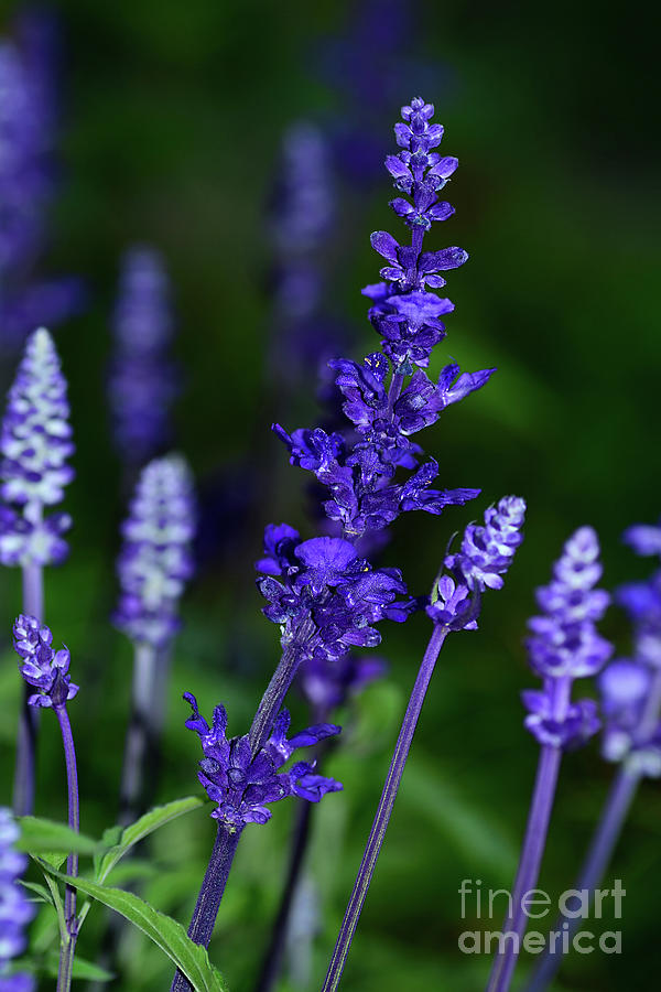 Rich Blue Lavender 2 by Kaye Menner by Kaye Menner