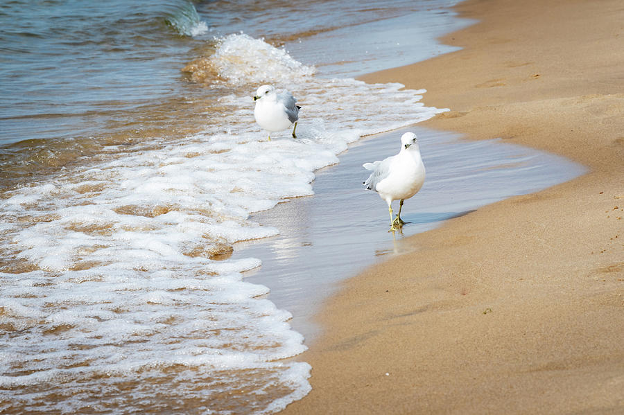 Ring-Billed Gulls, a species of Seagulls, on Oval Beach in Michigan by Ami Parikh
