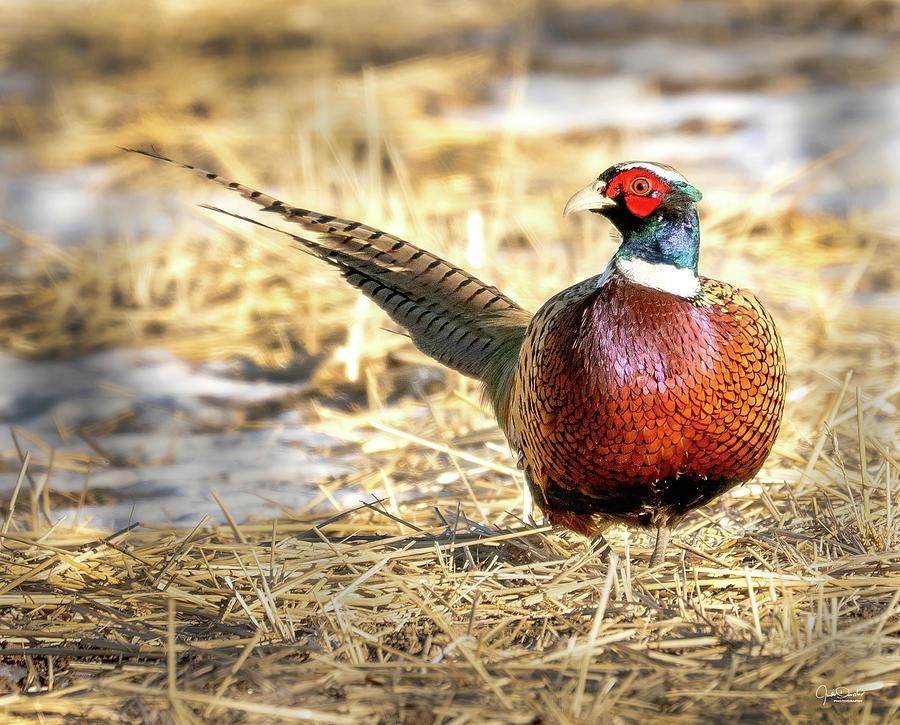 Ring-necked Pheasant Portrait by Judi Dressler