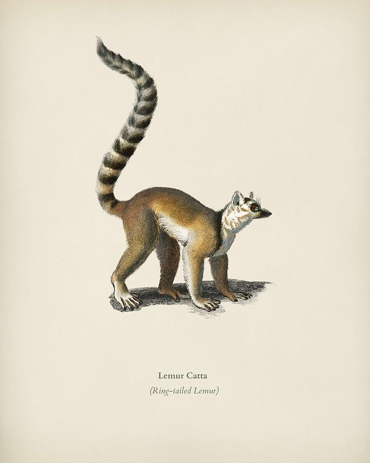 Lemur Painting - Ring-tailed Lemur  Lemur Catta  Illustrated By Charles Dessalines D Orbigny  1806-1876  by Celestial Images