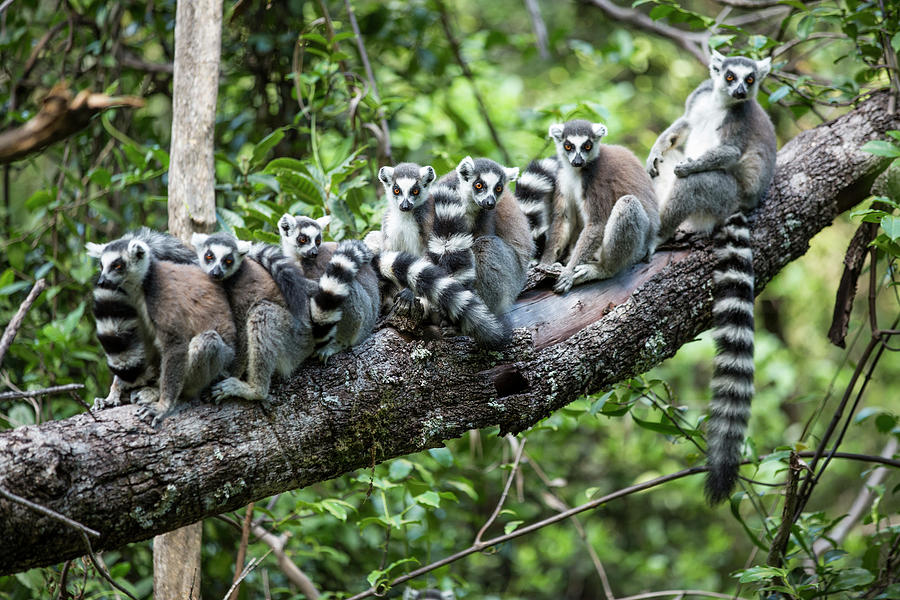 Ring-tailed Lemurs, Madagascar Photograph by Paul Souders