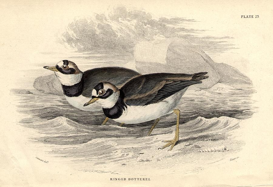 Ringed Dotterel Digital Art by Hulton Archive