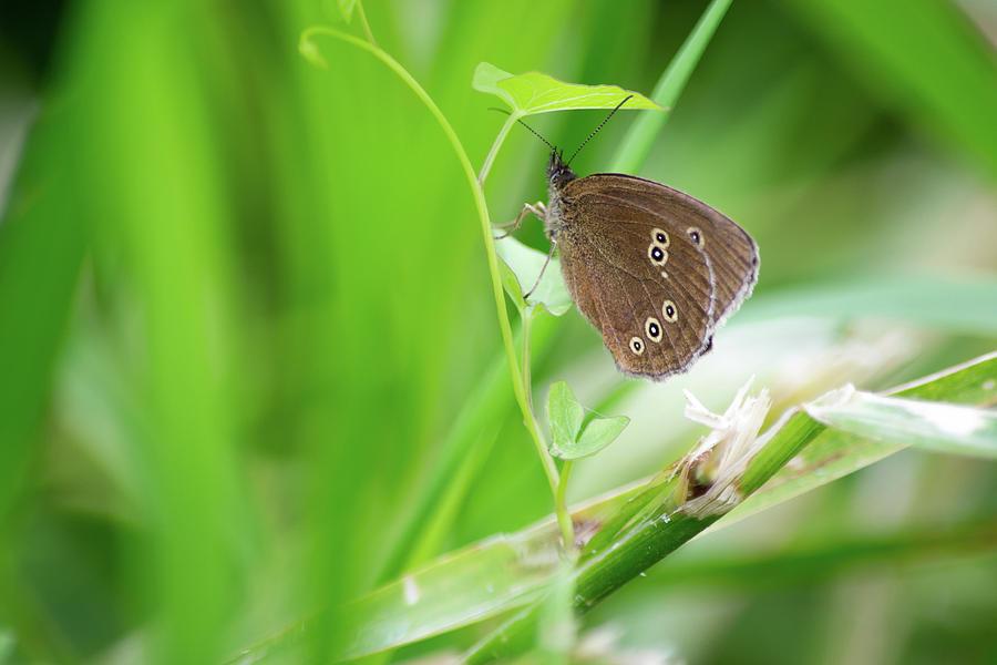 Ringlet Butterfly On Plant by Scott Lyons