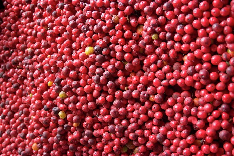 Ripe Coffee Beans, Recuca Coffee Photograph by Ethel Davis / Robertharding