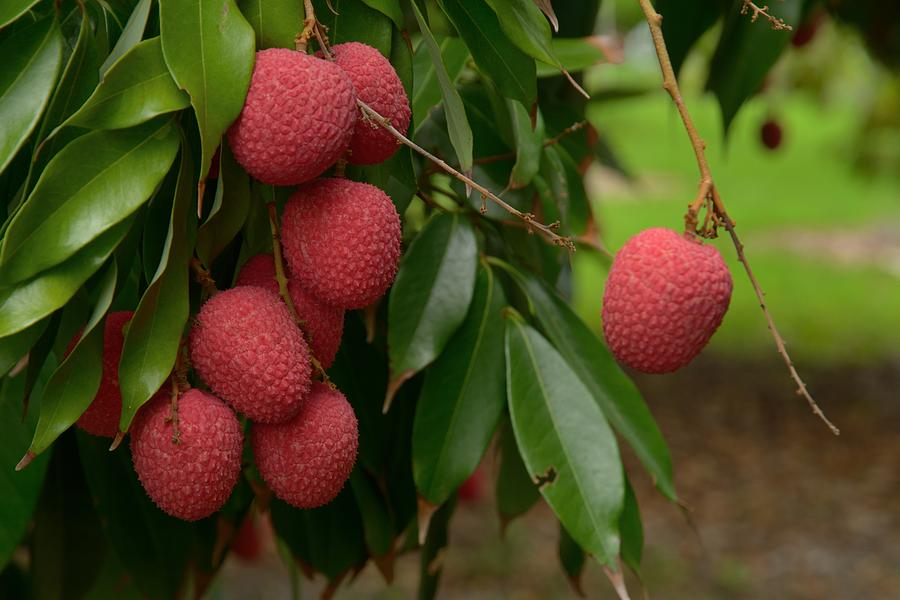 Ripe Lychee on the Tree by Bradford Martin