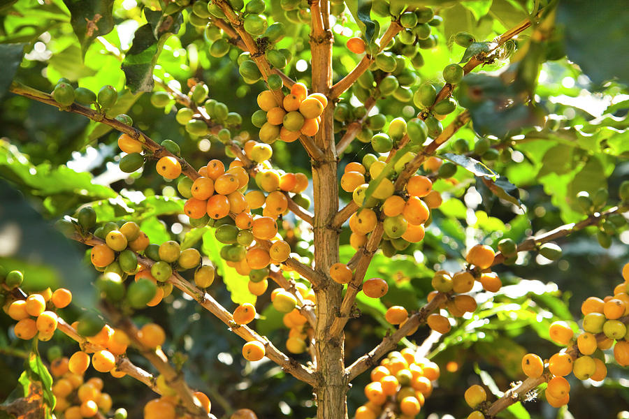 Ripe Yellow Coffee Beans On Tree Photograph by Picturegarden