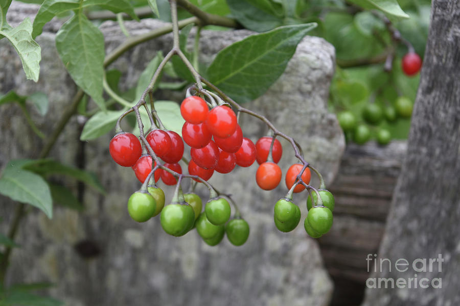 Ripening Red Berries And Green Berries On A Bush Photograph By