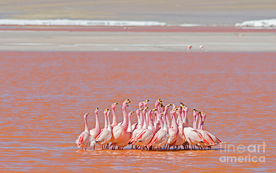 No Photograph - Ritual Dance Of Flamingo, Wildlife by Helen Filatova