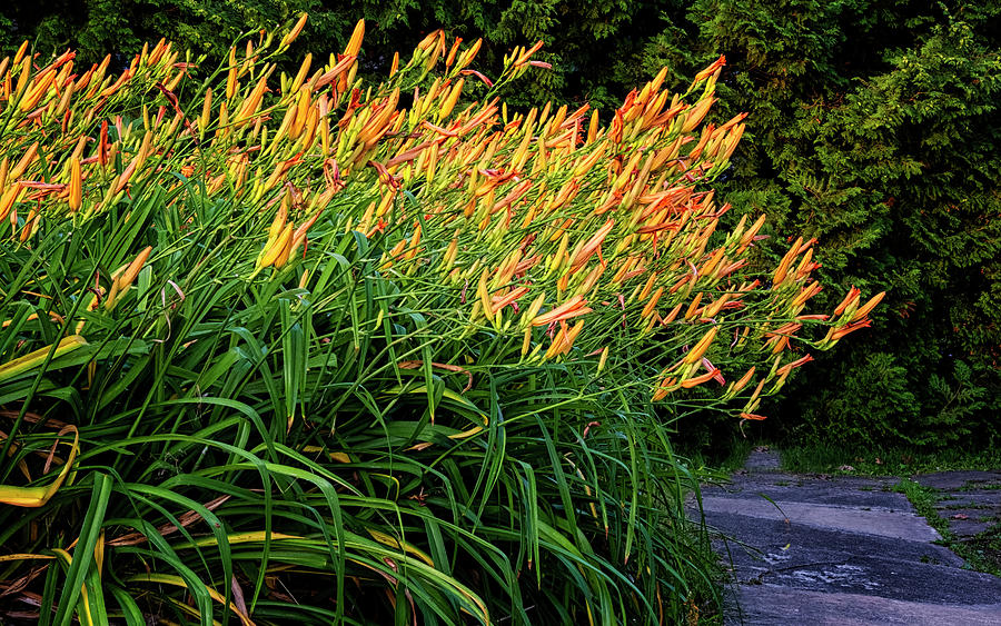 River Day Lilies by Tom Singleton