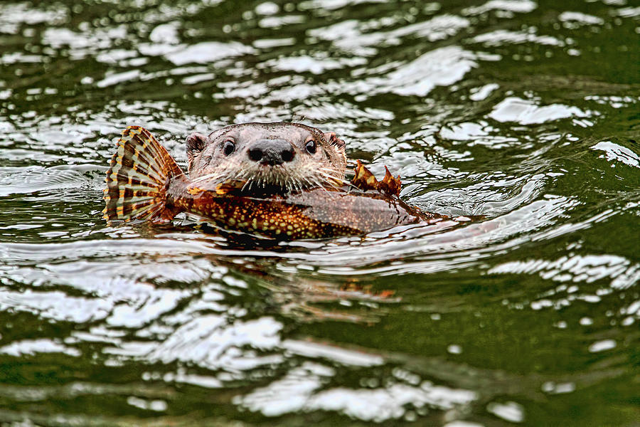 River Otter with Greenling Fish by Peggy Collins