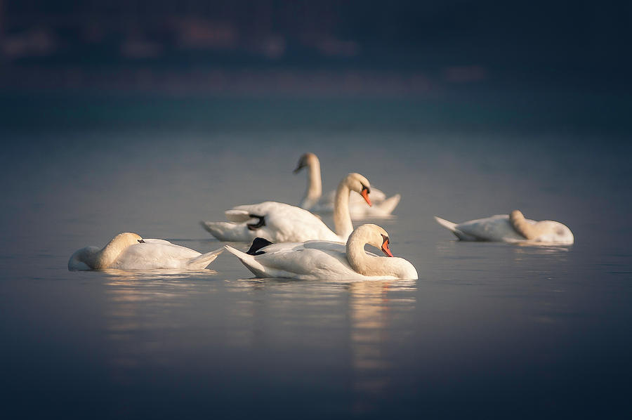 River Swans by Thomas Gaitley