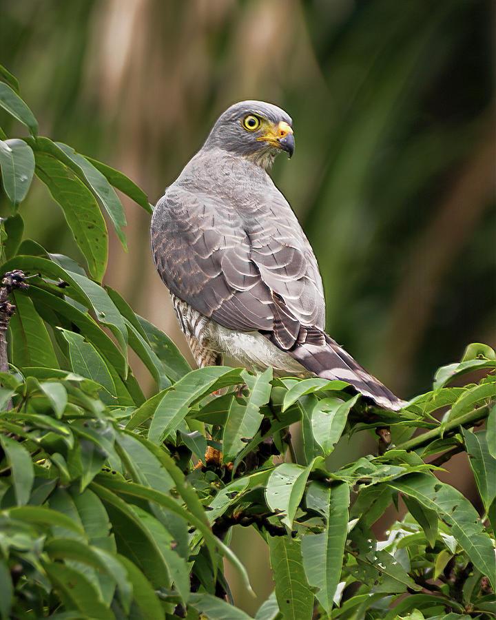 Roadside Hawk La Fortuna Yopal Casanare Colombia by Adam Rainoff