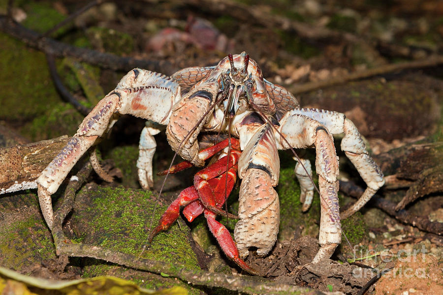 Robber Crab Photograph - Robber Crab Feeding On Christmas Island Red Crab by Reinhard Dirscherl/science Photo Library