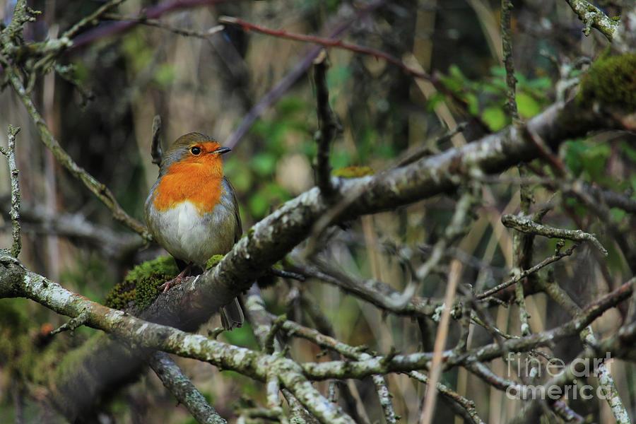 Robin 10  by Eddie Barron