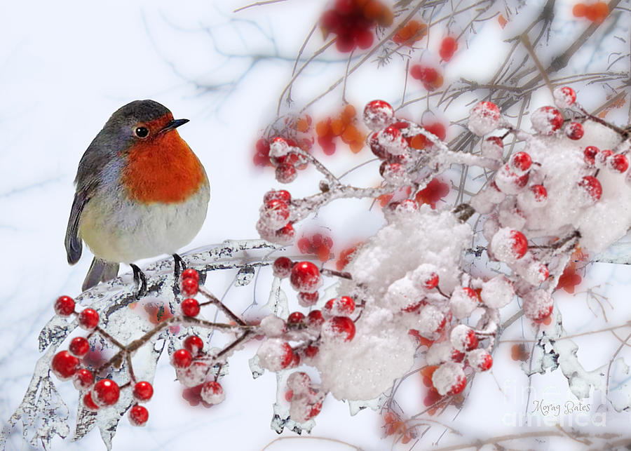 Robin and Berries by Morag Bates