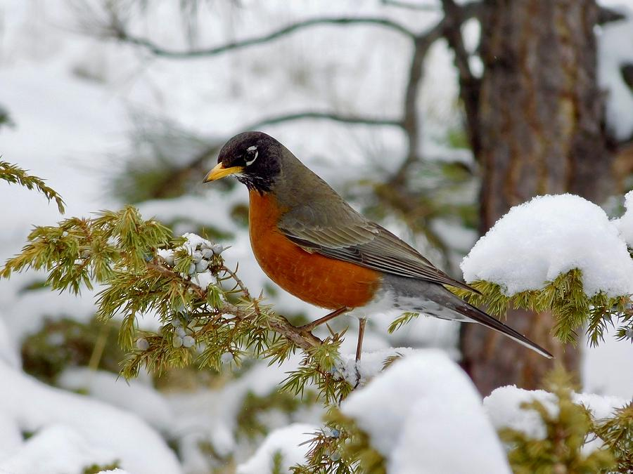 Robin in the Snow by Dan Miller