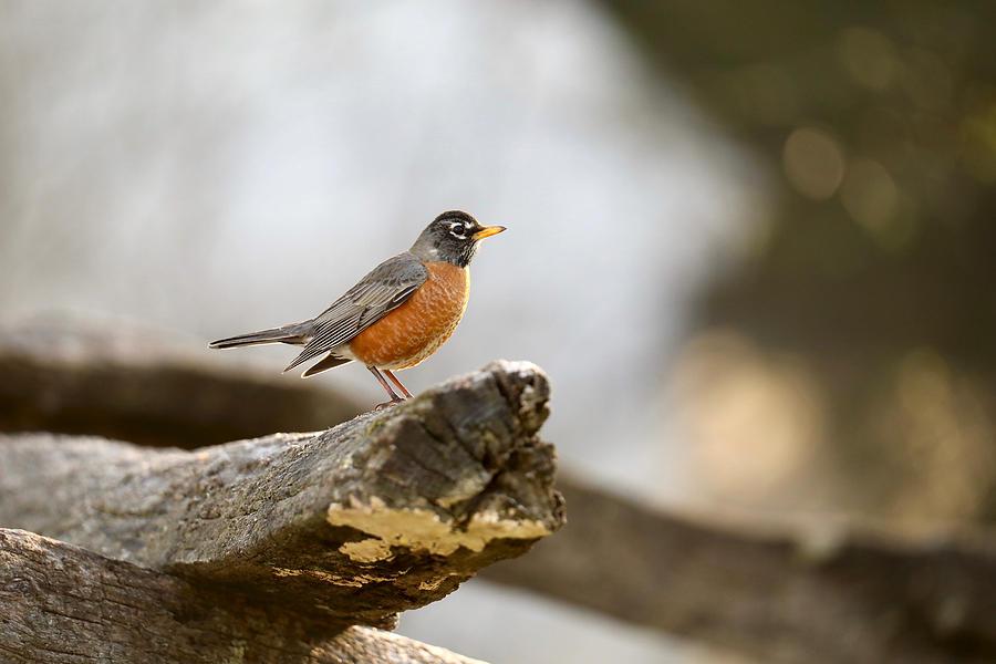 Robin in Virginia by Rachel Morrison