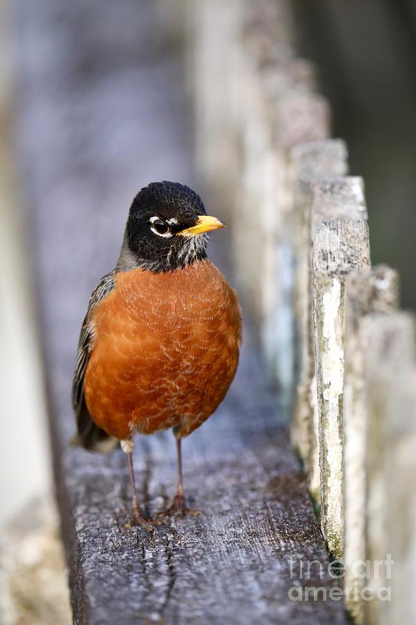 Robin on a Garden Fence by Rachel Morrison