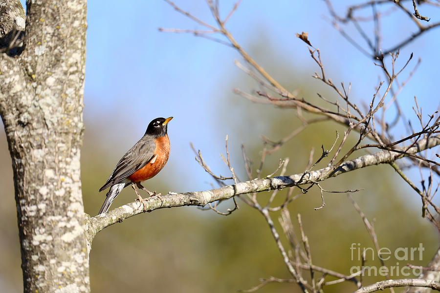 Robin on a Sunny March Morning by Rachel Morrison