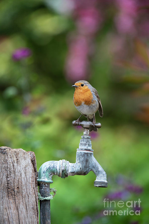 Robin on an Old Garden Tap by Tim Gainey