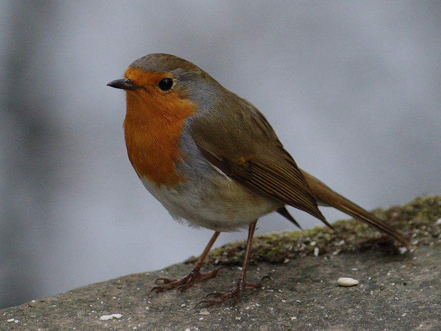 Robin On Bridge by Adrian Wale