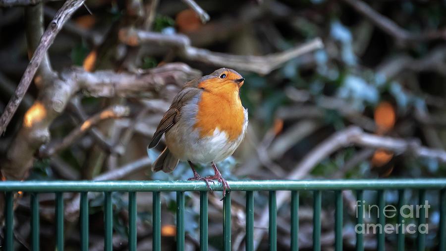 Robin perched on a rail by Jane Rix
