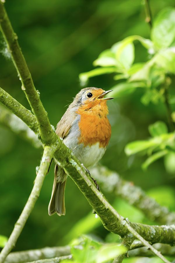 Robin singing by James Lamb