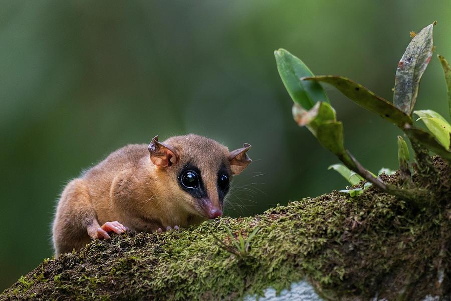Robinsons Mouse Oppossum Photograph by Sebastian Kennerknecht