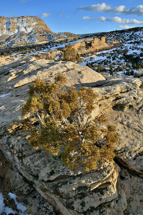 Rock Clinging Tree In Colorado National Monument Photograph