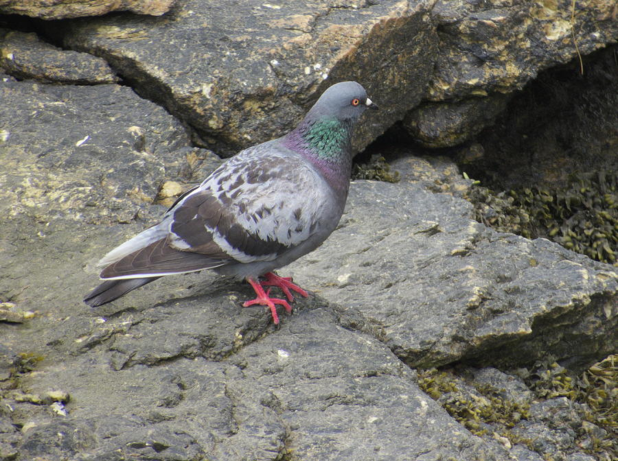 Rock Dove by Jean Evans