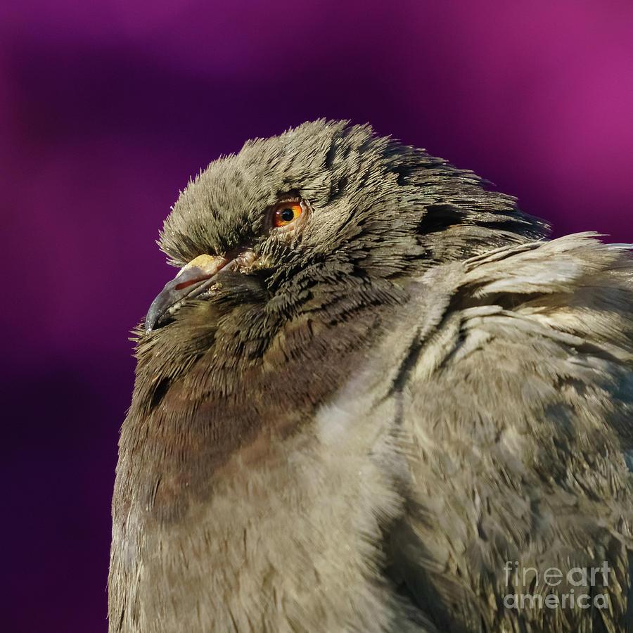 Rock Pigeon and Iron Fountain Headshot by Pablo Avanzini