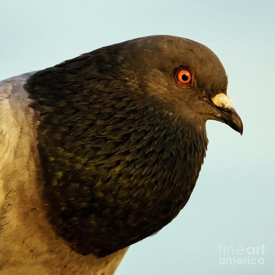 Rock Pigeon Headshot Closeup by Pablo Avanzini
