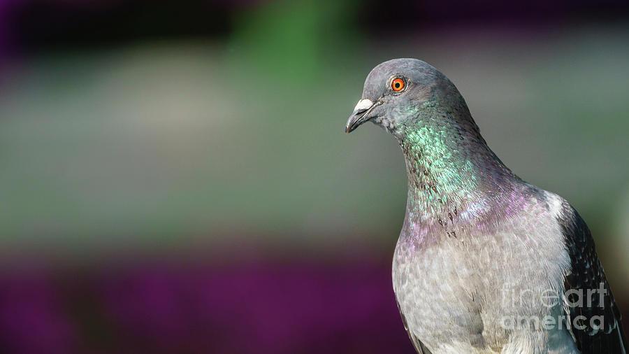 Rock Pigeon Portrait Columba Livia by Pablo Avanzini
