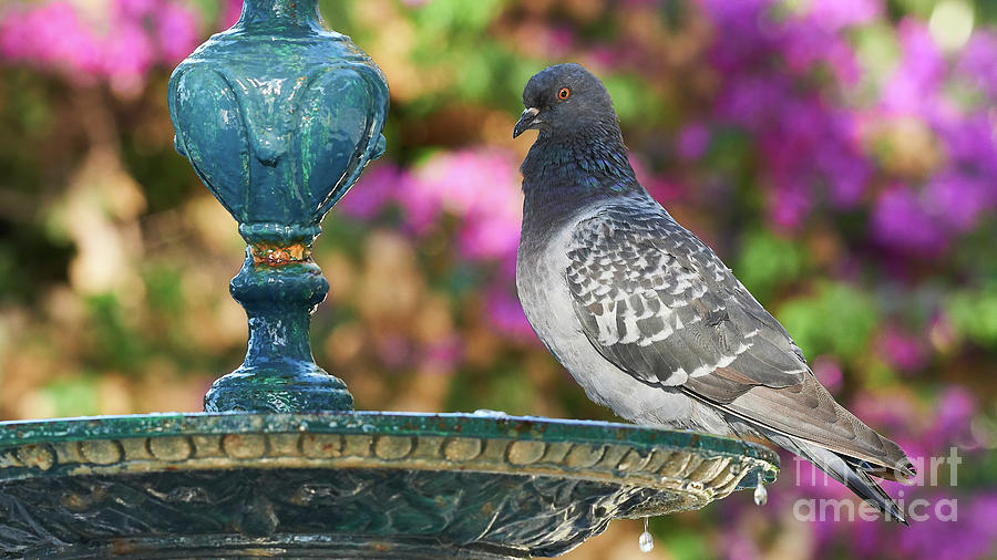 Rock Pigeons Columba livia Perched on Iron Fountain Colored and Blurred Background by Pablo Avanzini